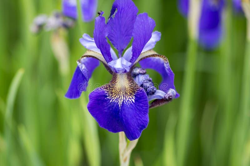 Iris sibirica Zierpflanze in der Blüte, wilde blühende Blumen lizenzfreies stockbild