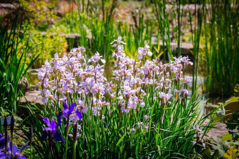 Iris Spring Flower Blauwe purpere iris Bloemblaadjes van een Bloem van Iris royalty-vrije stock fotografie
