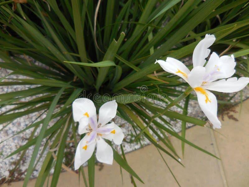 Iris suburbanos blancos de la acera, flores imagenes de archivo