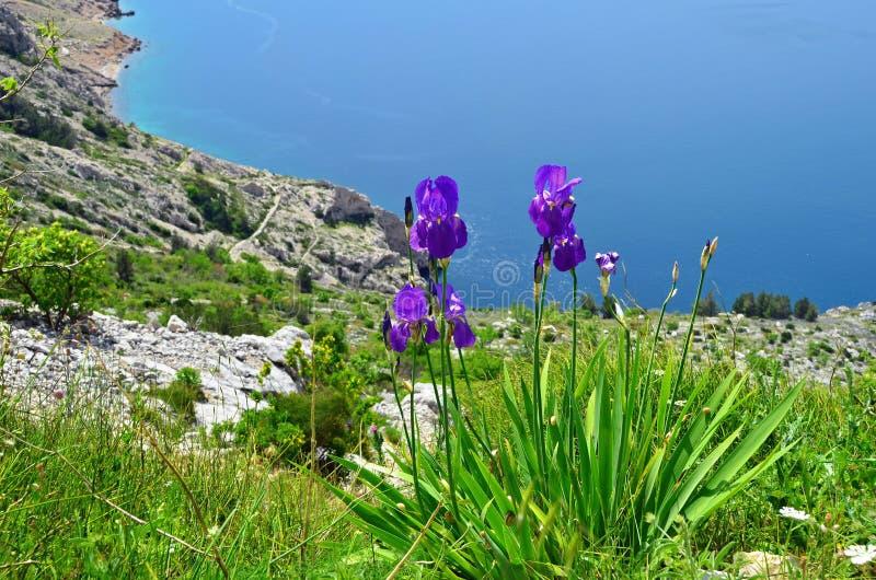 Iris sur une pente de montagne photographie stock
