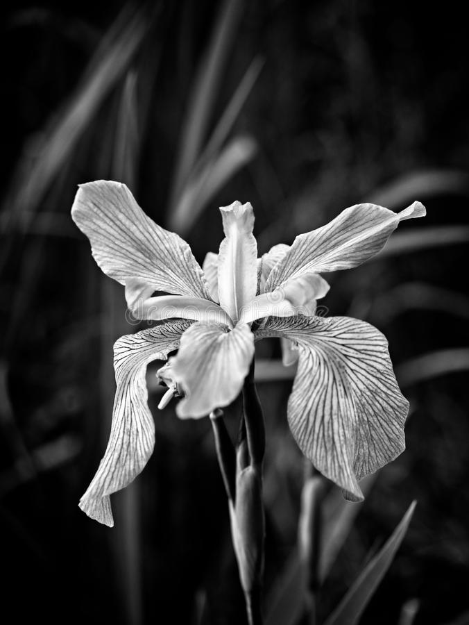 Iris in a Swamp Blooming B&W. Southeastern TX USA - 3/27/2018 - Iris in a Swamp Blooming B&W royalty free stock image