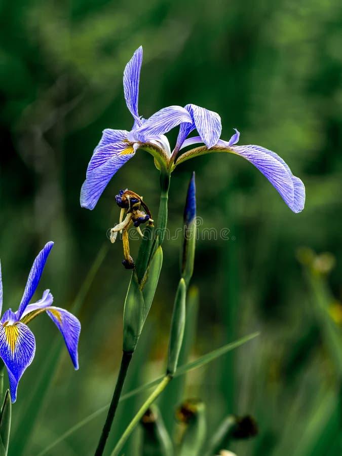 Iris in the Swamp 1 royalty free stock image