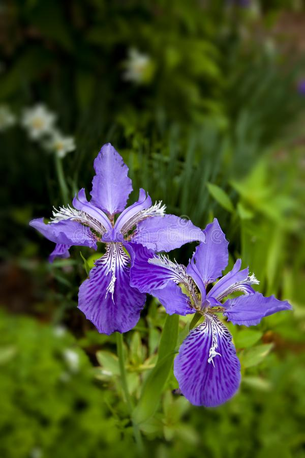 Iris tectorum. Pair of striking purple flowers with out of focus background royalty free stock images