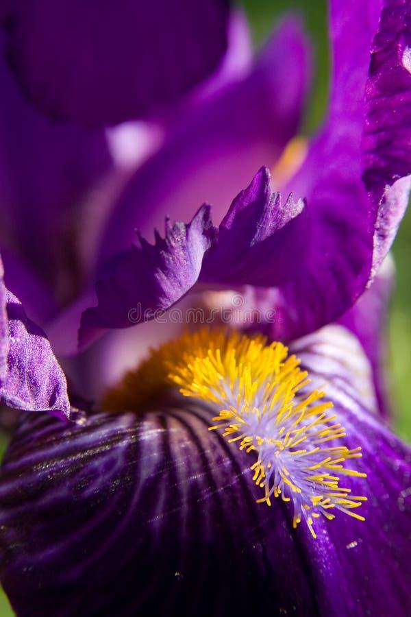 Iris violet dans le printemps image libre de droits
