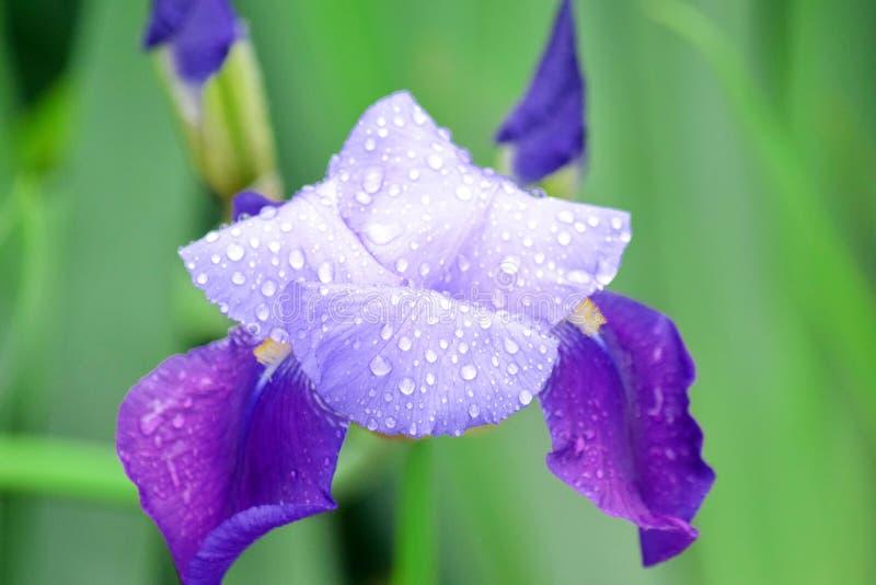 Iris Violet Flowers Home Garden Stock Pfoto detaljCloseup arkivfoton