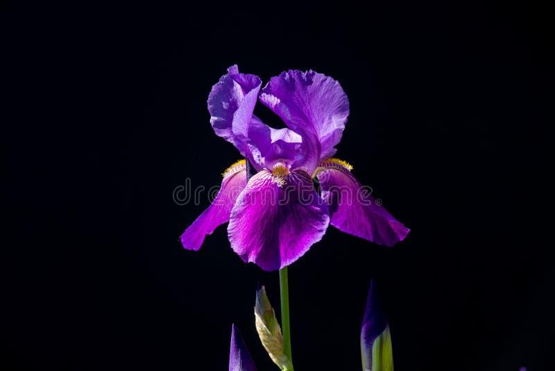 Iris violeta en fondo negro foto de archivo