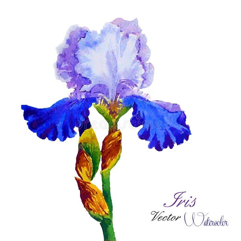 Iris Watercolor lizenzfreie abbildung