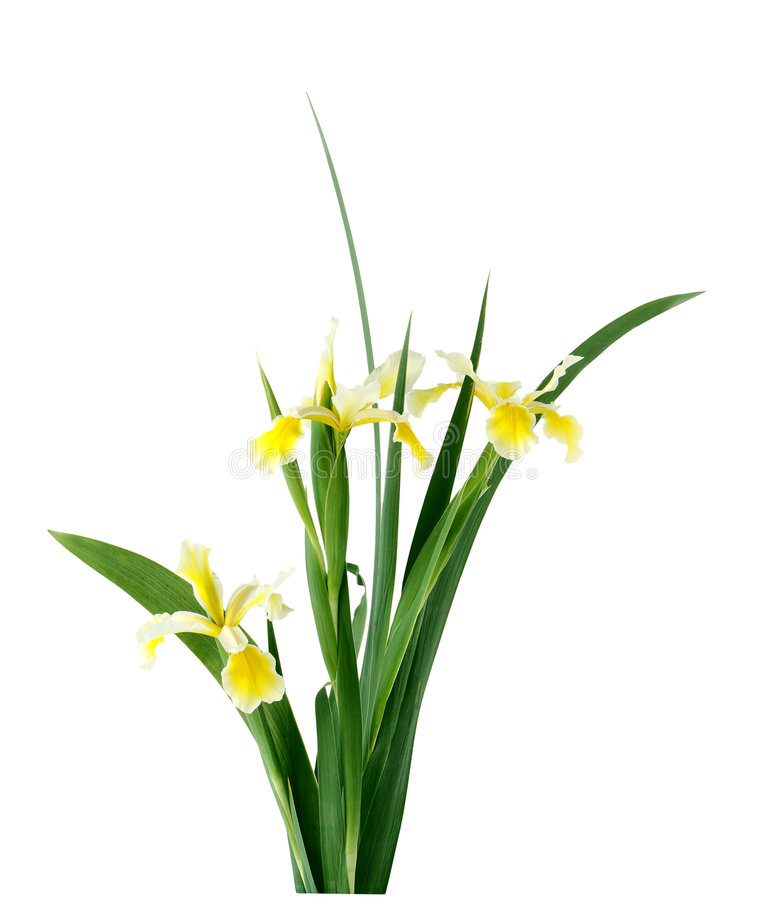 iris wysoki fotografia stock