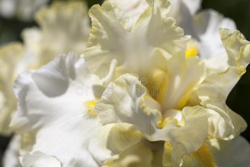 Iris, yellow flowers blooming in a garden, close up.  stock photo