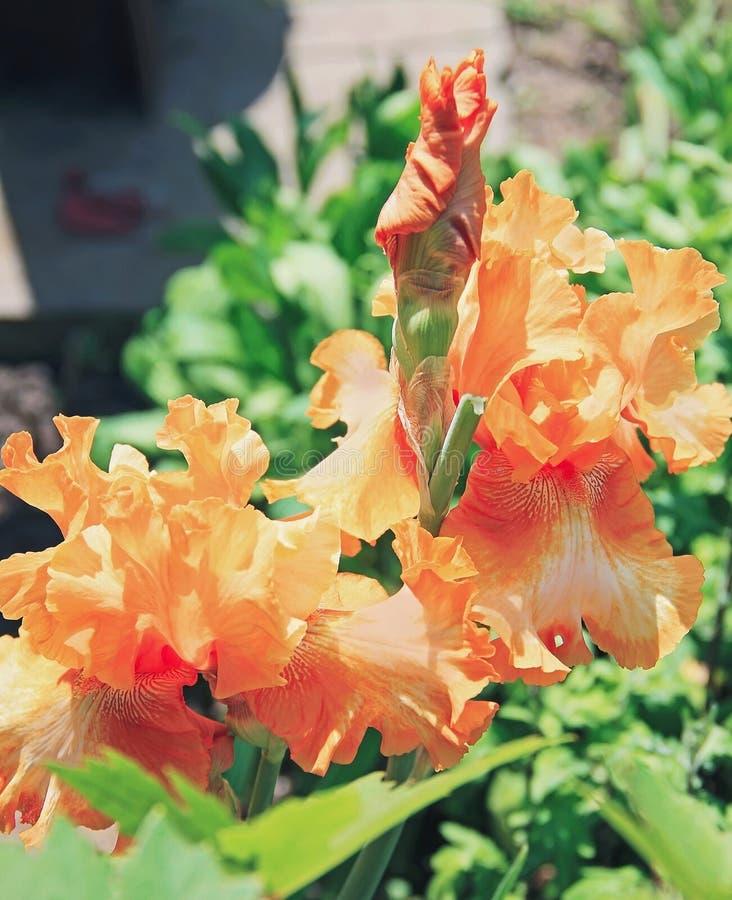 Iris yellow orange flower plant latin name iris outdoors stock download iris yellow orange flower plant latin name iris outdoors stock photo mightylinksfo
