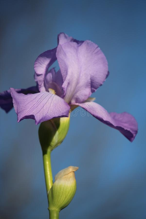 Irisbloei stock foto's