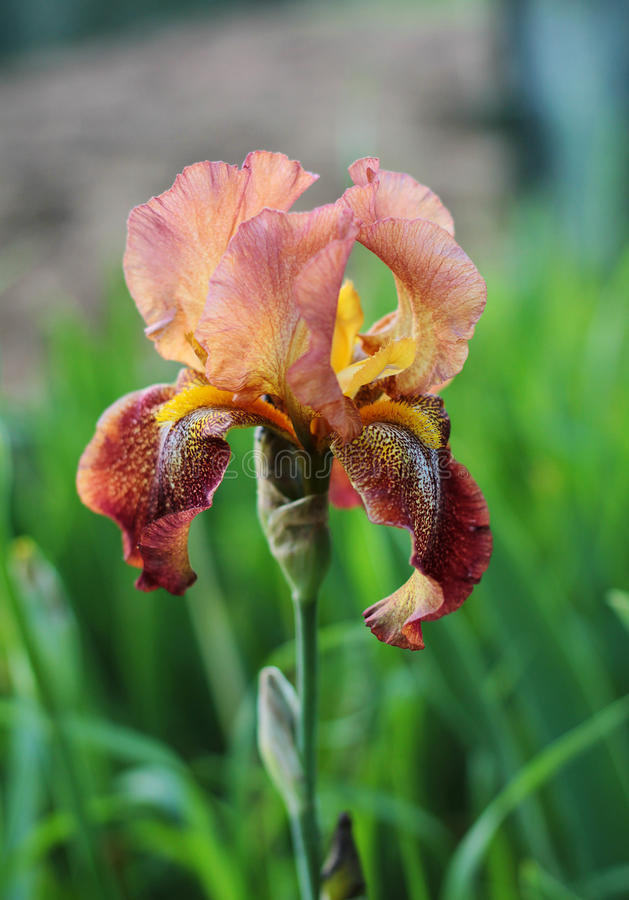 Irisbloem buiten royalty-vrije stock afbeelding
