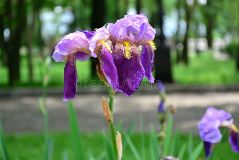 Irisbloem - schaduwen van purple, van licht aan dark stock fotografie