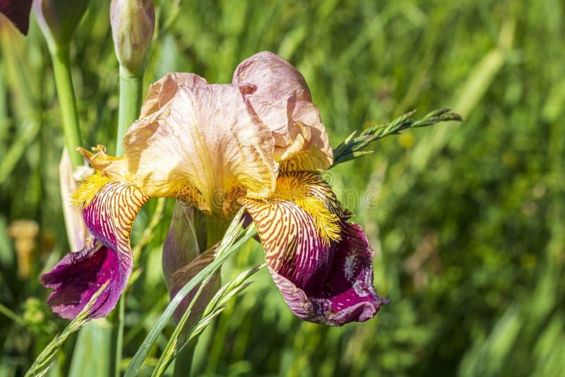 Irisbloem in Seyne les Alpes royalty-vrije stock foto's