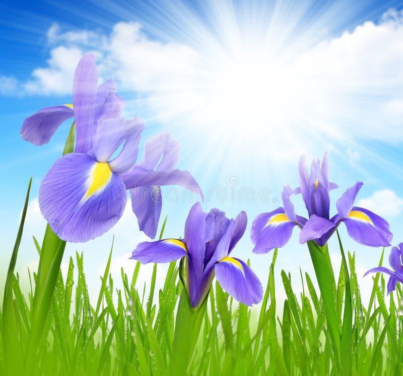 Irisbloemen met met dauw bedekt groen gras royalty-vrije stock afbeelding