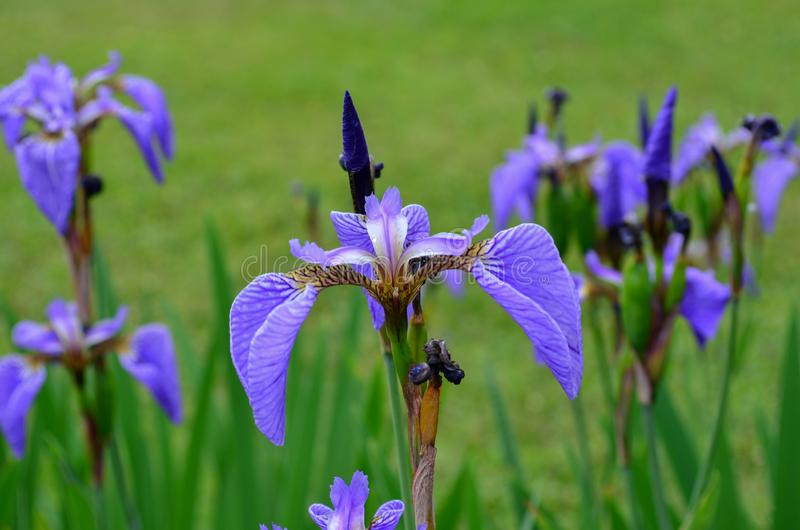 Irisblomma i f?ltet royaltyfri foto