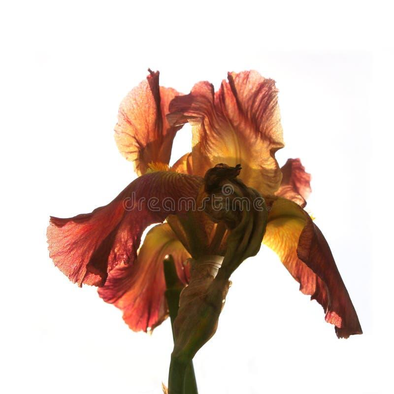 Irisblomma på en vit bakgrund royaltyfri bild