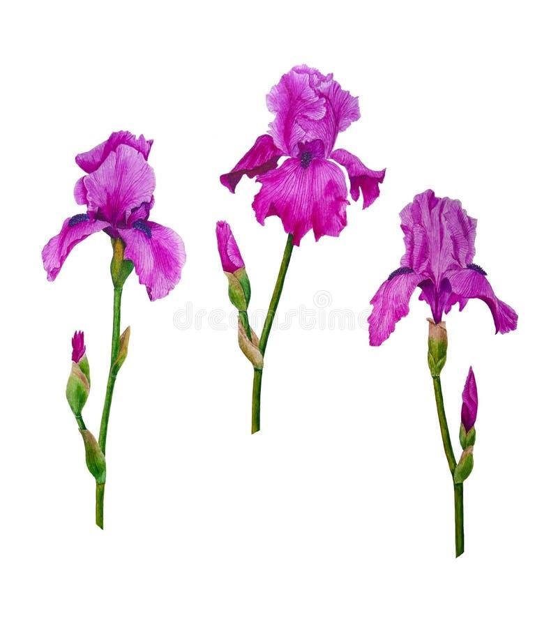 Irisblommavattenfärgen som målar botanisk sommar för illustrationsidavår, ställde in för inbjudan för designhälsningkort royaltyfri illustrationer