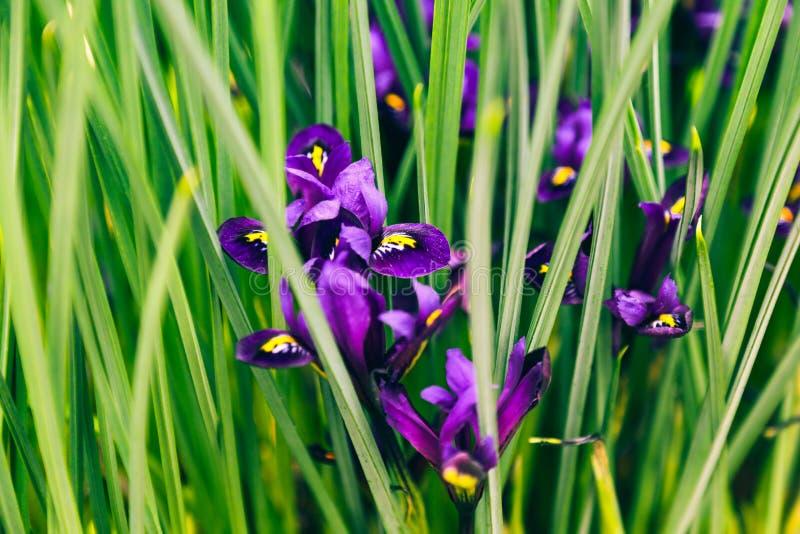 Irisblommor i vårträdgård royaltyfria bilder