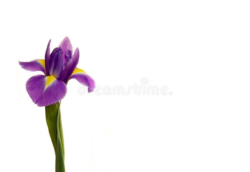 Irisblume auf einem wei?en lokalisierten Hintergrund Hintergrund, sch?n, Blatt stockbilder