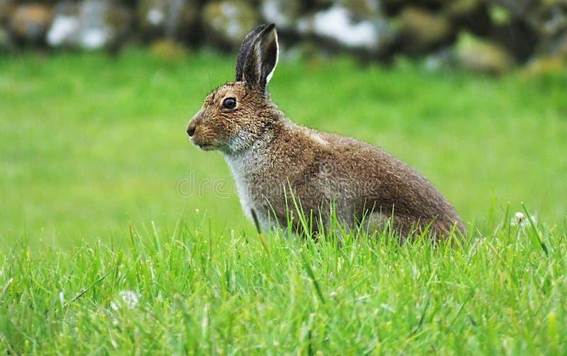 Irische Hasen stockfotografie