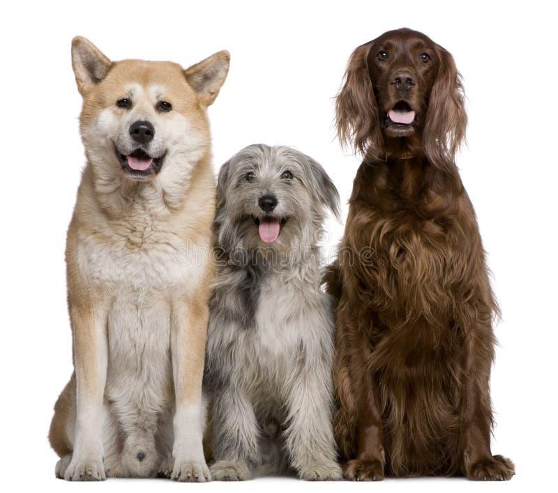 Irischer Setter, Akita Inu und Pyrenean Schäferhundhund stockfoto