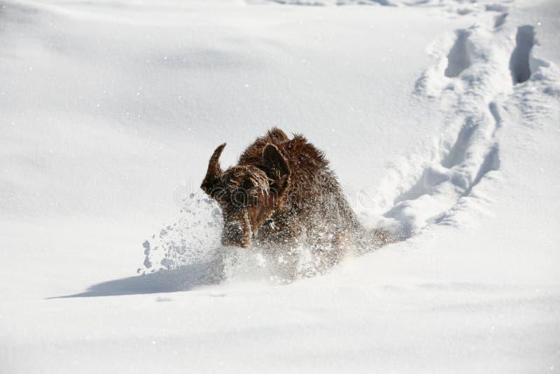 Irischer Setter im Schnee lizenzfreie stockbilder