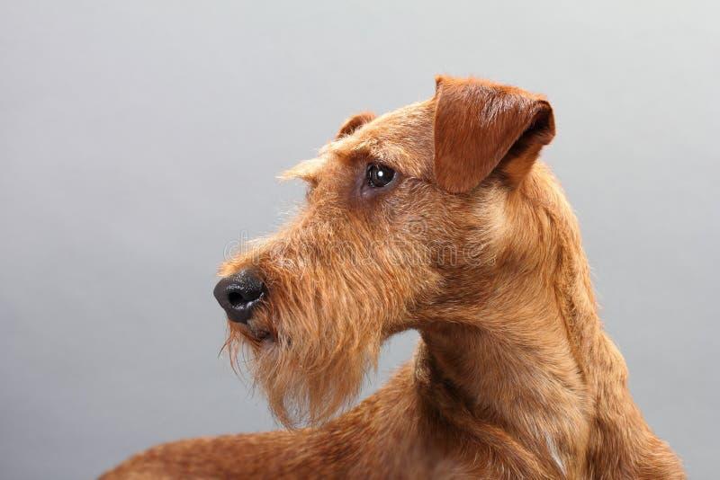 Irischer Terrier lizenzfreies stockbild