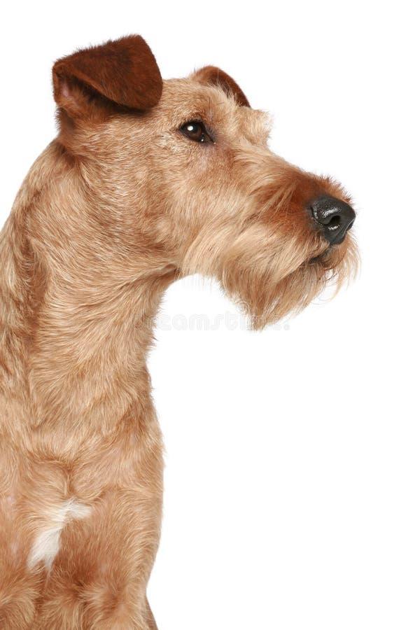 Irischer Terrier lizenzfreie stockfotografie