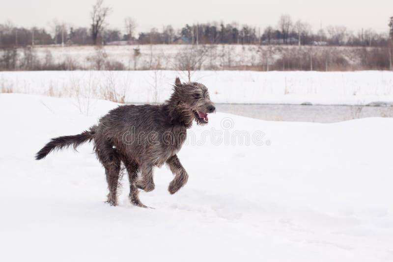 Irischer Wolfhound stockfotografie
