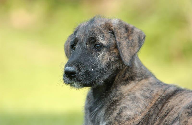 Irischer Wolfhound-Welpe lizenzfreie stockbilder