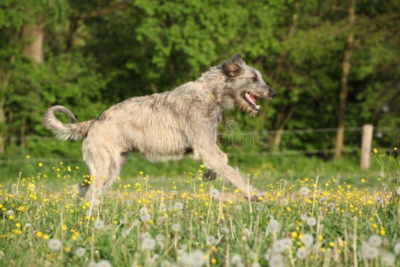 Irischer Wolfshund, der in Blumen läuft stockfotos