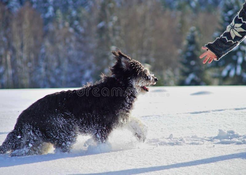 Irischer Wolfshund, im Freien im tiefen Schnee, eine menschliche Hand, die heraus für ihn erreicht stockfotografie