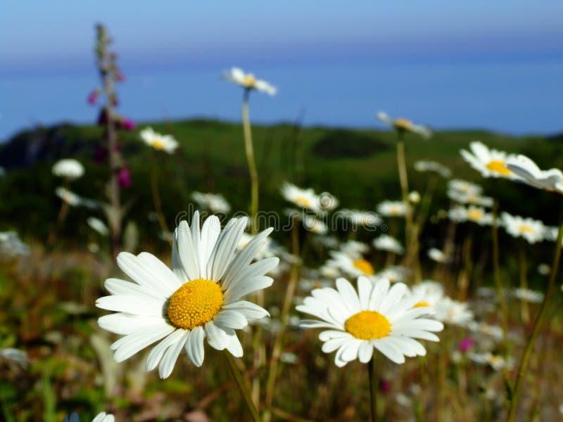 Irisches Gänseblümchen lizenzfreies stockbild