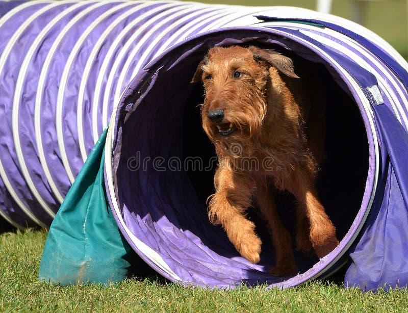 Irisches Terrier an einem Hundebeweglichkeits-Versuch stockfoto