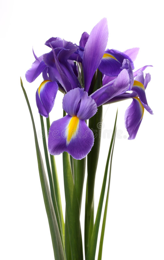 Irise. stockfotografie