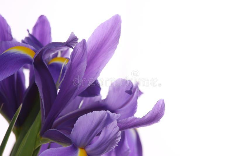 Irise. imagen de archivo libre de regalías