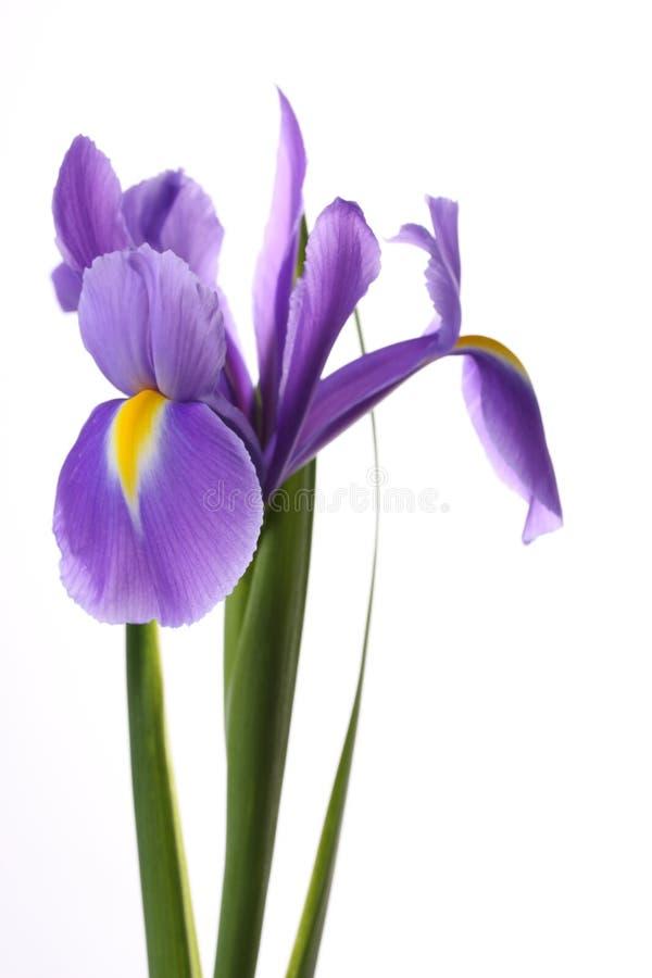 Irise. fotografía de archivo