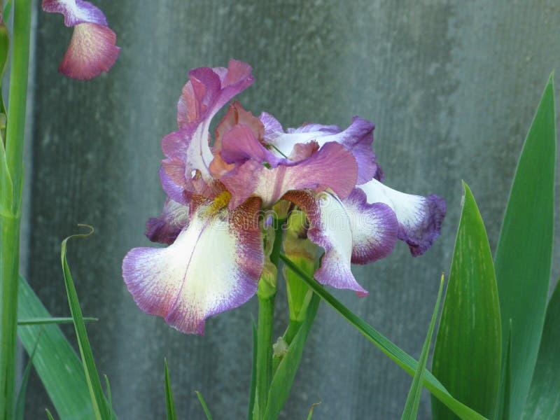 Irise w ogródzie obraz stock