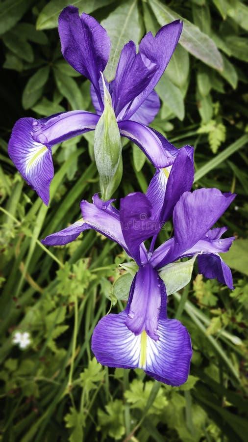 irises пурпур стоковые фотографии rf