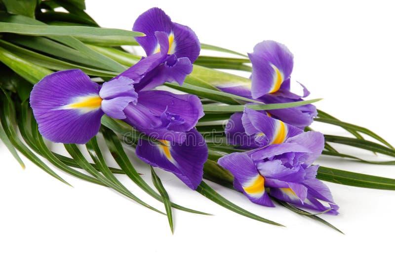 Irises. Spring purple flowers irises over white background royalty free stock photo