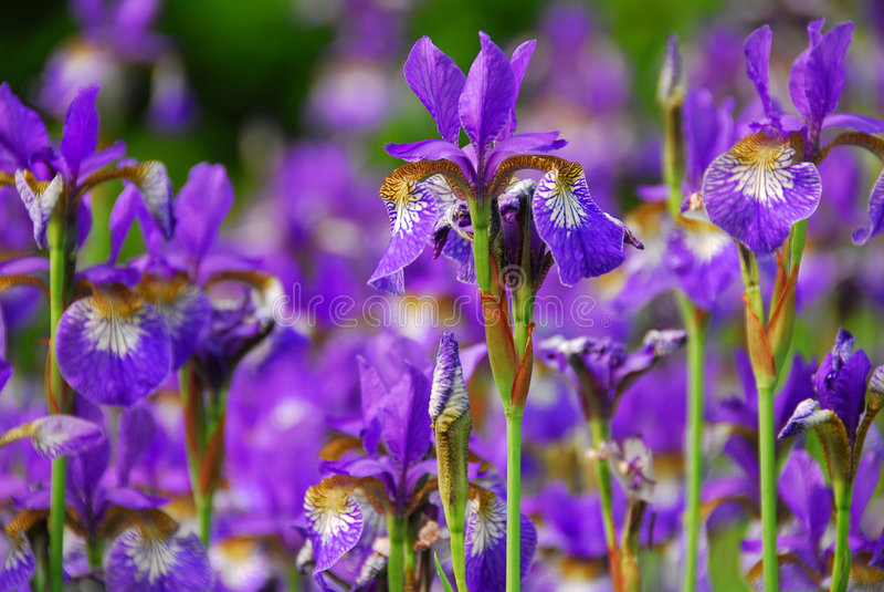 Irises. Beautiful purple irises blooming in spring time stock images
