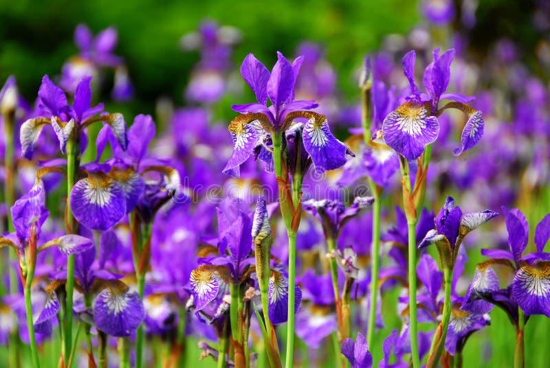 Irises. Beautiful purple irises blooming in spring time royalty free stock photos