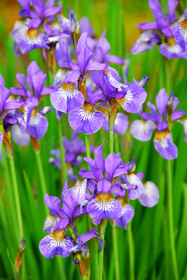 Irises. Beautiful purple irises blooming in spring time stock photo