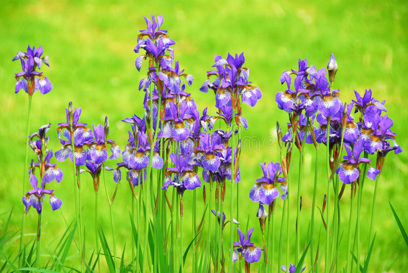Download Irises stock photo. Image of blossoms, garden, flora, flower - 1976594