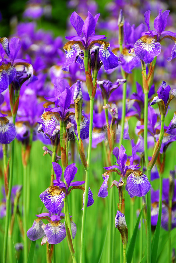 Irises. Beautiful purple irises blooming in spring time royalty free stock photography