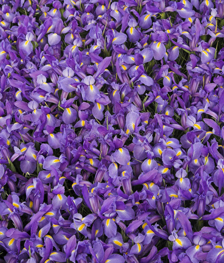 Irises. A bloom of Irises royalty free stock photo