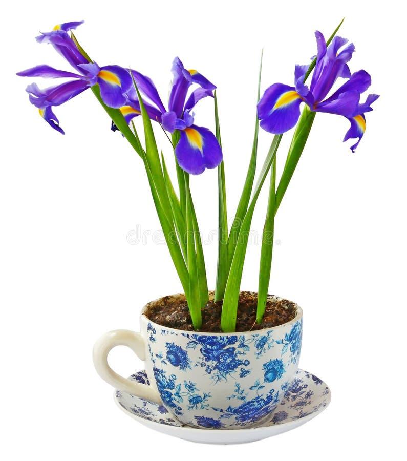 Download Irises stock photo. Image of fragile, grow, artistic - 22584362