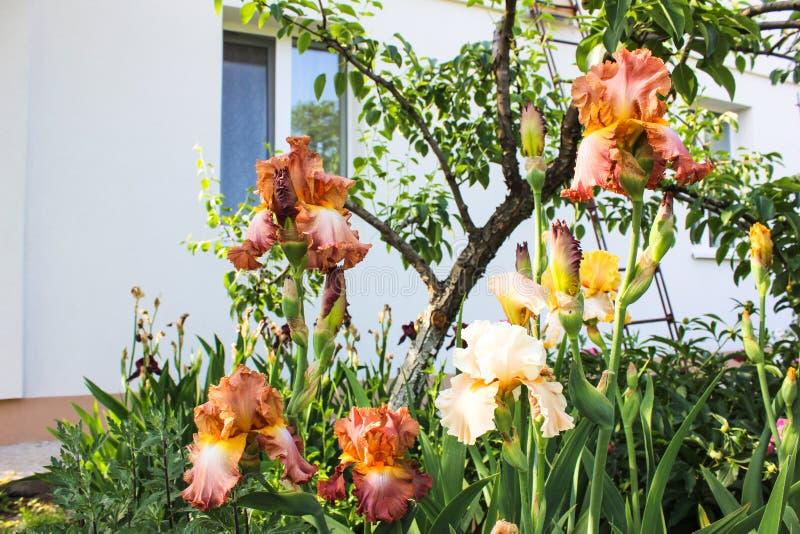 Irises bearded in the garden stock image