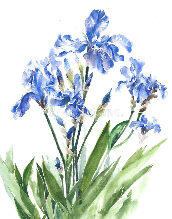 Irises blue garden spring flowers watercolor painting illustration isolated on white background royalty free illustration